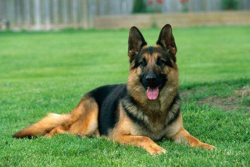 درمان اسهال سگ ژرمن شفرد