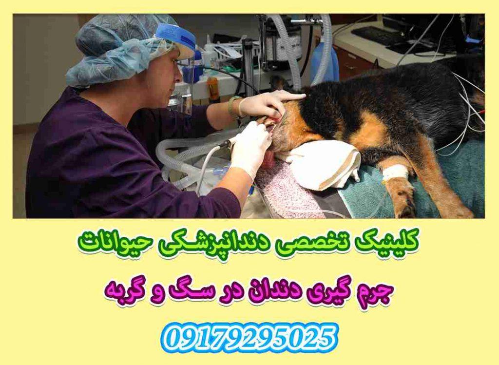 جرم گیری دندان سگ و گربه در شیراز، کرمان، یزد، بوشهر، مشهد، تهران