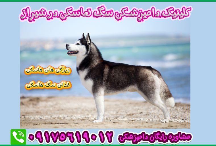 سگ هاسکی در دامپزشکی شیراز