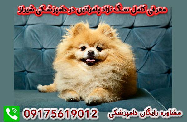 سگ پامرانین در شیراز